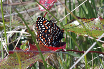 Photo of Taylor's Checkerspot Butterfly