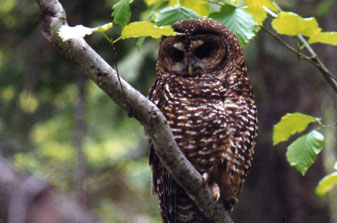 Photo of a Northern Spotted Owl